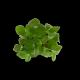 Plante 4 : le schefflera