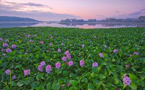 Champ de jacinthe d'eau en Asie