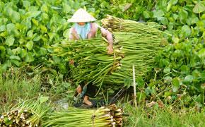 Cueillette de la jacinthe d'eau en Asie