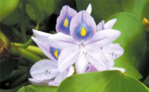 Jacinthe d'eau en fleur Onature
