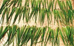 Sèchage des racines de jacinthe d'eau